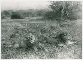 Med Prins Wilhelm på afrikanska jaktstigar - image 52