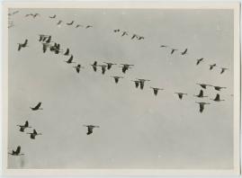 Som flyttfågel i Afrika - image 6