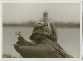 Som flyttfågel i Afrika - image 10