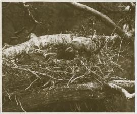 Sagan om de sista örnarna - image 3