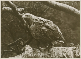 Sagan om de sista örnarna - image 12