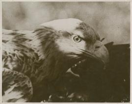 Sagan om de sista örnarna - image 28