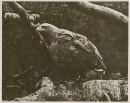 Sagan om de sista örnarna - image 21