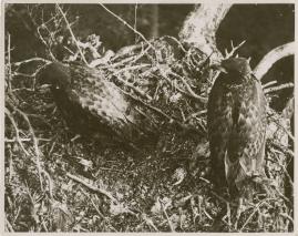 Sagan om de sista örnarna - image 9