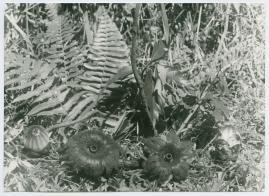 Bland malajer på Sumatra - image 73
