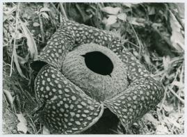 Bland malajer på Sumatra - image 52