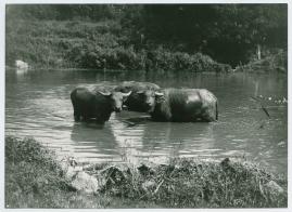 Bland malajer på Sumatra - image 54